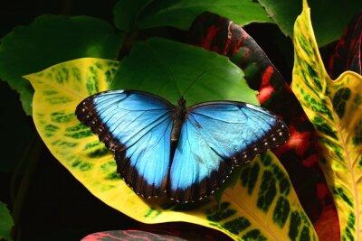 Fototapeta A całkiem niebieski motyl Morpho ląduje w ogrodach Butterfly.