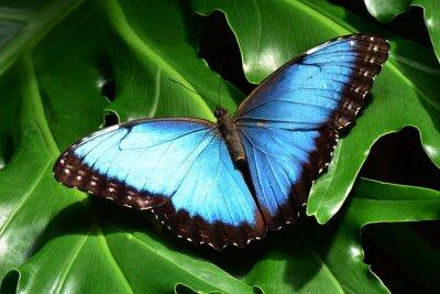 Fototapeta A pretty blue morpho butterfly lands in the butterfly gardens.