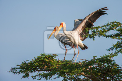 Fototapeta African Spoonbill Bocian ptak dziki Tło z Afryki.