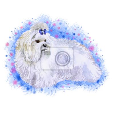 Akwarela Bliska Portret Małego Maltański Psa Rasy Samodzielnie