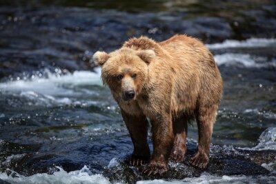 Fototapeta Alaskan brązowe wyszukiwania łososia w karabinów Brooks River.