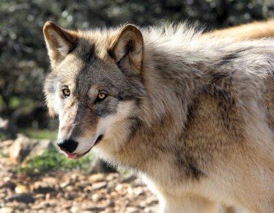 Fototapeta Alaskan Gray Wolf Portret