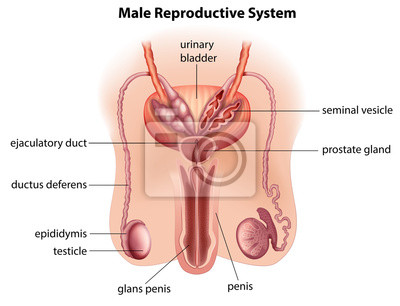 Anatomia męskiego układu rozrodczego Fototapeta • Fototapety wnętrza ...