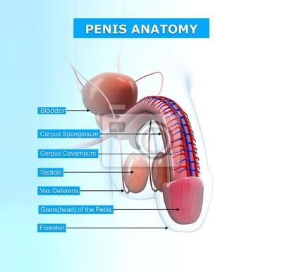 Anatomia penisa z nazwami Fototapeta • Fototapety łonowy, wzwodny ...