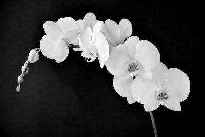 Fototapeta Aphrodite Phalaenopsis orchidea, w czerni i bieli
