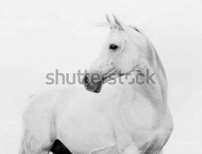 Fototapeta arab horse in high key