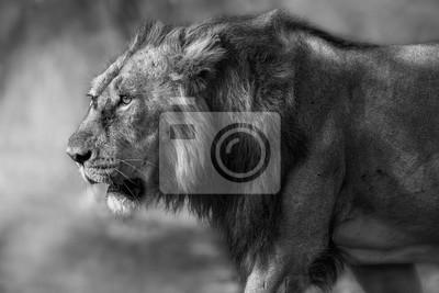 Artystyczne Czarno Białe Zdjęcie Męskiego Lwa Panthera Leo