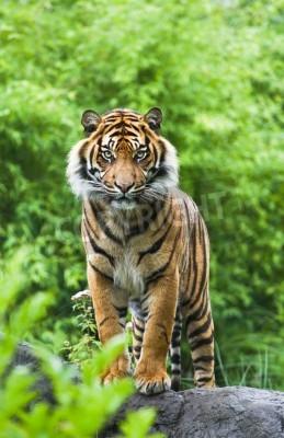 Fototapeta Asian- lub Tygrys bengalski stojąc z bambusa krzewów w tle