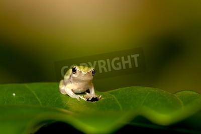 Fototapeta  Baby Tree frog on the leaf (Hyla chinensis)
