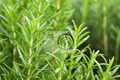 Fototapeta Background of green fresh rosemary herb bunches