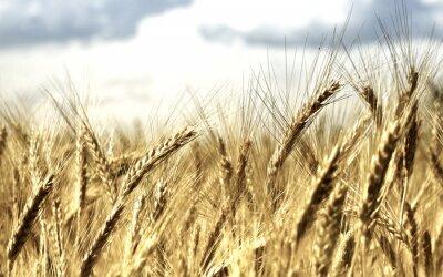 background Wheat