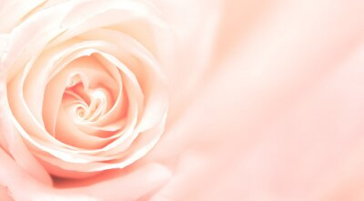 Fototapeta Banner z Pink Rose