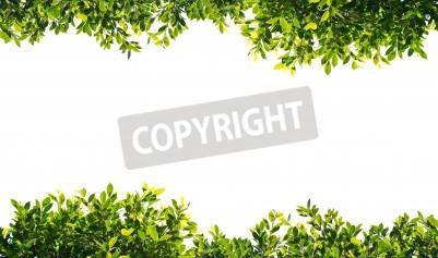 Fototapeta Banyan zielonymi liśćmi samodzielnie na białym tle