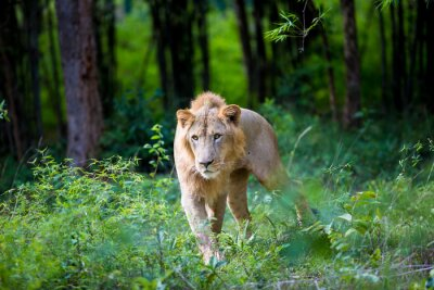 Fototapeta Bardzo rzadko lew azjatycki w parku narodowym w Indiach. Te narodowe skarby są teraz chronione, ale ze względu na rozwój miast będą one nigdy nie być w stanie poruszać się w Indiach jak kiedyś.