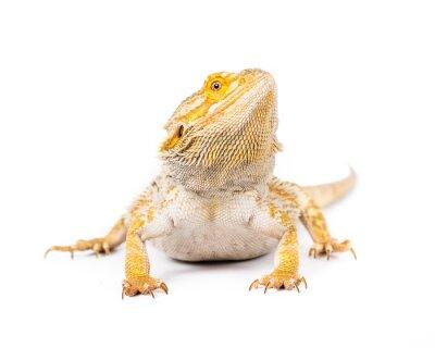 Fototapeta Bearded Dragon