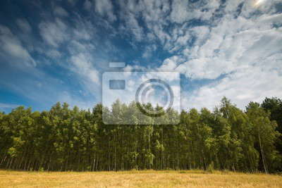 Fototapeta Beautiful green summer birch forest