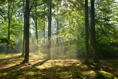 Fototapeta Beautiful moring in beech forest