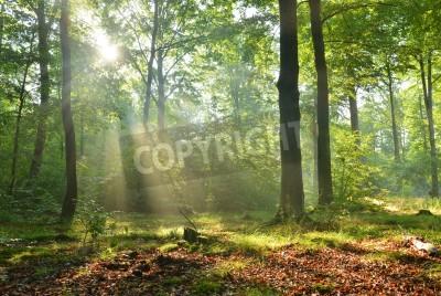 Fototapeta Beautiful moring in beech forest