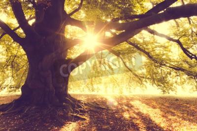 Fototapeta Beech Tree w Morning Light