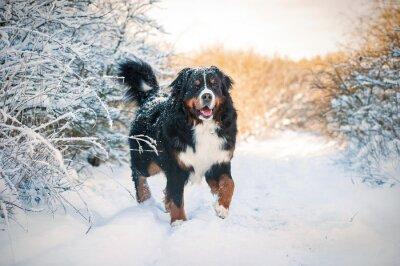 Fototapeta Berneński pies na spacer w zimie