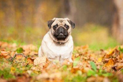 Fototapeta Beżowy pies mops siedzi na liści jesienią