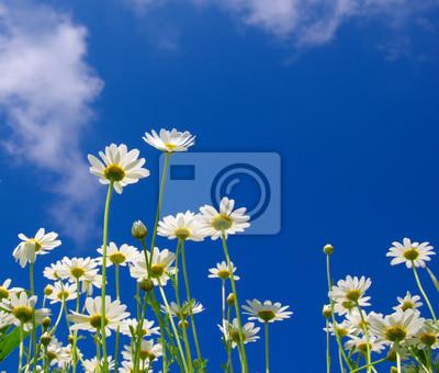 Fototapeta Białe camomiles na błękitne niebo