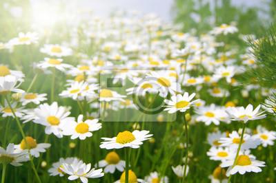 Fototapeta Białe camomiles na zielone pole