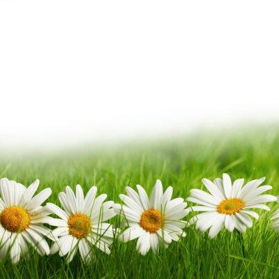 Fototapeta Białe kwiaty daisy w zielonej trawie