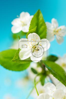 Białe kwiaty wiśni.