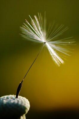 Fototapeta białe kwitnienia mniszka lekarskiego na zielonym tle, szczegółowo i makrofotografii dandelion nasion