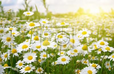 Fototapeta Biali rumianki na zieleni polu