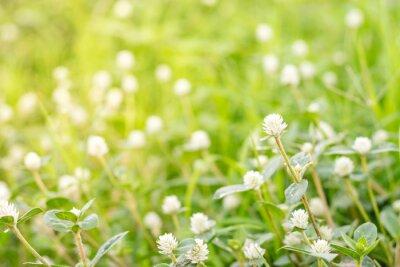Fototapeta Biały Globosa Kwiat Gomphrena.
