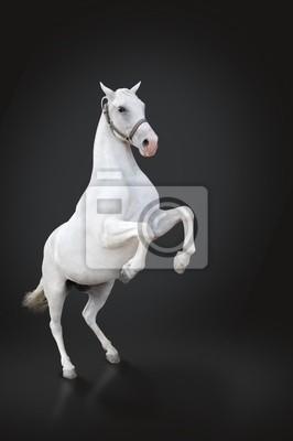Biały hodowli koni samodzielnie na czarny