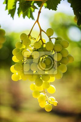 Fototapeta Biały kiści winogron na winorośli z ciepłym światłem słonecznym