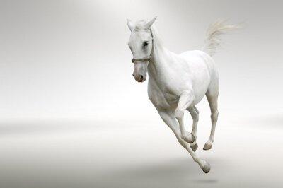 biały koń