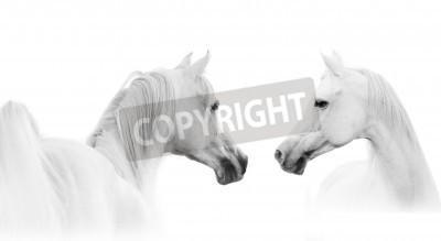 Fototapeta Biały koń arabski