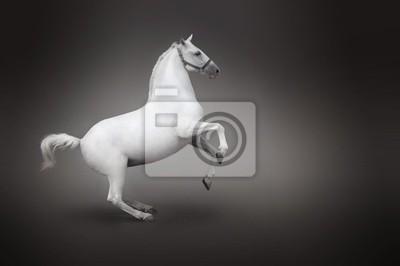 Biały koń hodowli izolowanych - widok z boku