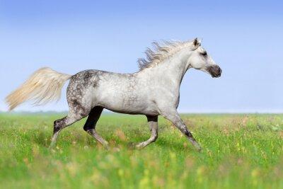 Fototapeta Biały koń kłusem na łące latem