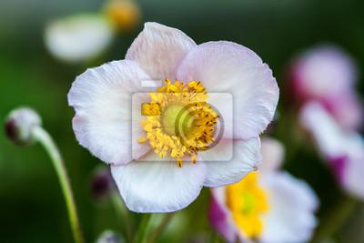 Fototapeta Biały kwiat anemon makro samodzielnie na ciemno-zielonym tle