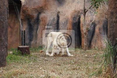 Fototapeta Biały lew odpoczynku