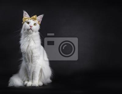 Biały Maine Coon Dziewczyny Kot Jest Ubranym Złotego łęk Na