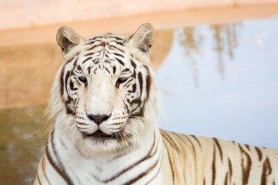 Fototapeta Biały tygrys w zoo