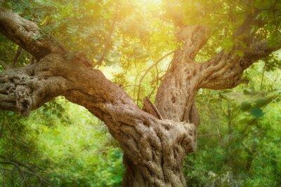 Fototapeta Big drzewa w lesie
