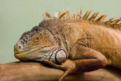 Fototapeta Big jaszczurka śpi na gałęzi zbliżenie, odizolowanych tle