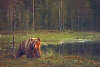 Fototapeta Big male bear walking in the bog at sunset