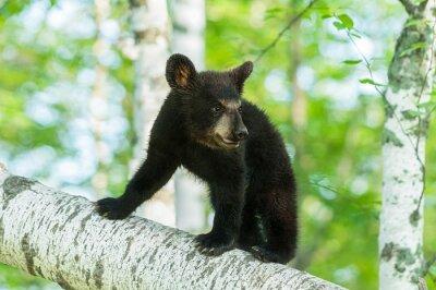 Fototapeta Black Bear Cub (Ursus americanus) Włącza Oddziału