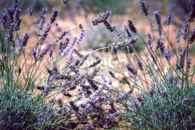 Fototapeta Bliska pola lawendy. Blur filtrowane strzał z selektywnej focus