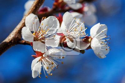 Fototapeta Blooming białe kwiaty na gałęzi drzewa owocowego
