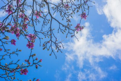 Fototapeta Blooming drzewa magnolia