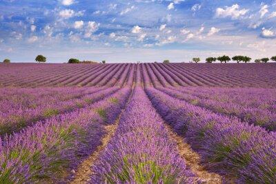 Fototapeta Blooming pola lawendy w Prowansji, w południowej Francji